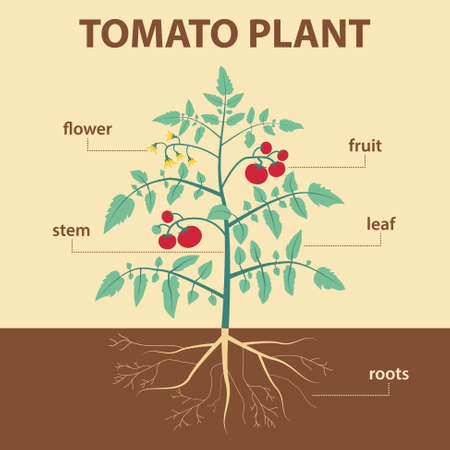 fruit stem: vector illustration showing parts of tomato whole plant - agricultural infographic tomatoes scheme with labels for education of biology -  flower, leaf, stem, roots, fruit