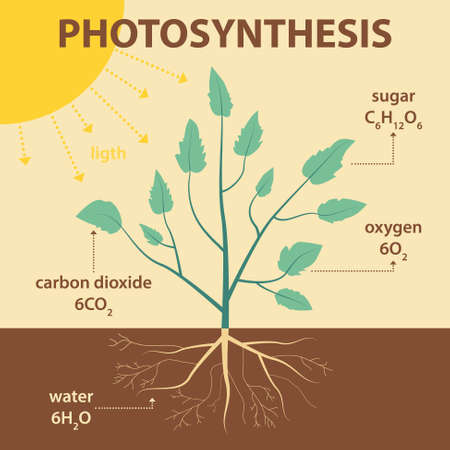 dioxin: vector schematic illustration showing photosynthesis of plant - agricultural infographic biology scheme with labels for education