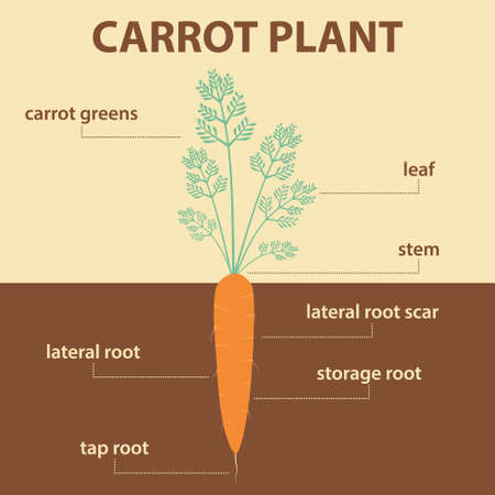Vector diagram showing parts of carrot whole plant agricultural vector vector diagram showing parts of carrot whole plant agricultural infographic scheme with labels for education of biology root vegetables ccuart Image collections