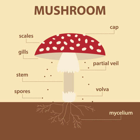vector diagram showing parts of mushroom whole plant - agricultural infographic amanita muscaria scheme with labels for education of biology Illusztráció