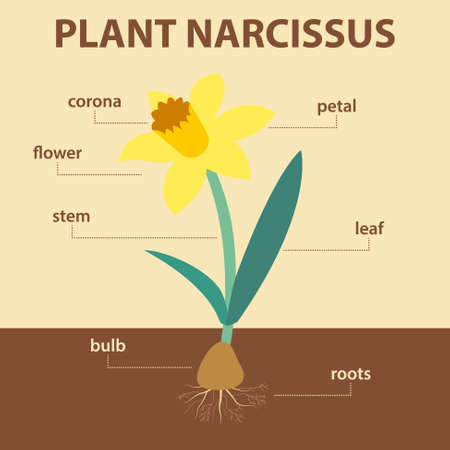 diagramma vettoriale che mostra parti dell'intera pianta di narciso - schema di narciso agricolo agricolo con etichette per l'educazione della biologia - fiore, foglia, stelo, sistema di radici, bulbo, corona e petalo