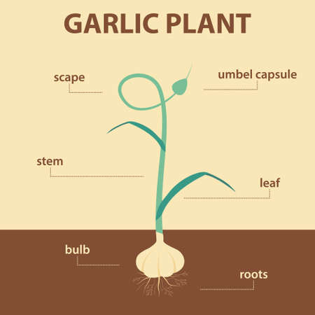 vector diagram showing parts of garlic whole plant - agricultural infographic scheme with labels for education of biology - umbel capsule, scape, leaf, stem, roots system, bulb