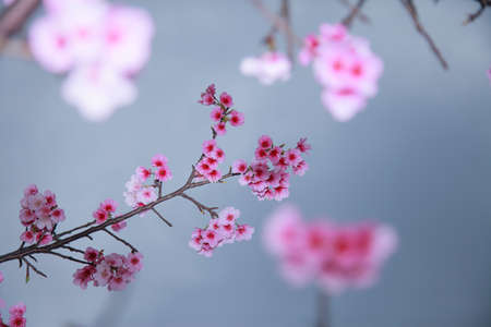 depend: spring is coming,cherry blossoms is blooming.