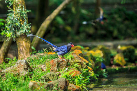 National treasure Taiwan blue magpie.