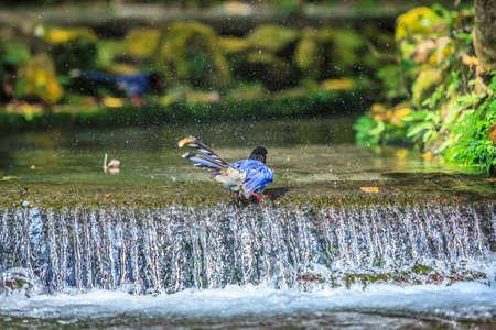 National treasure Taiwan blue magpie.