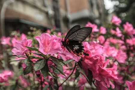 one butterfly fly on Azaleas. Stock Photo