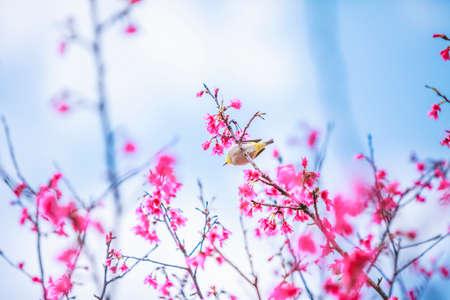 The bird japanese white-eye and Cherry blossoms.
