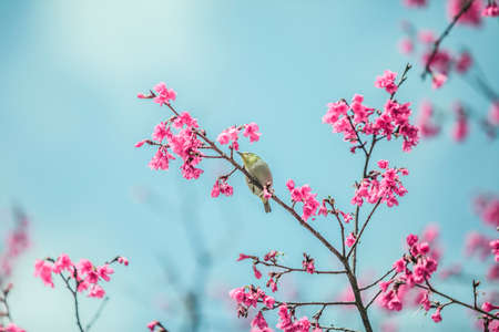 The japanese white-eye bird  and Cherry blossoms.