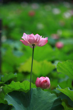 leisurely: The lotus of summer blooming.