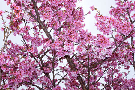 Beautiful Cherry blossoms on the Ping Jing Street in Taiwan. Stock Photo
