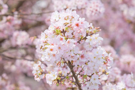 Cherry Blossom of Tianyuan Palace in sunny day.