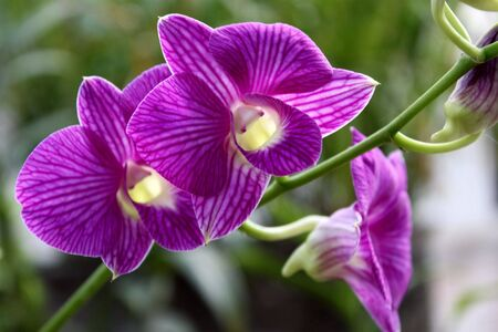 purple orchid: The Purple Orchid
