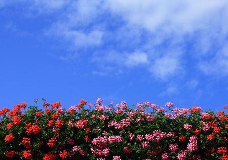 Geraniums against the blue sky Stock Photo - 6624916