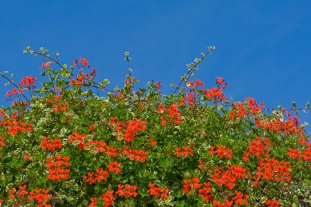 Red flowering geraniums against the blue sky