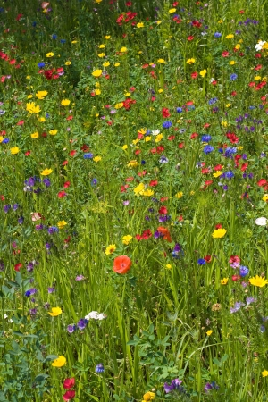 colorfully: Summer meadow with lots of different blooming wild summer flowers