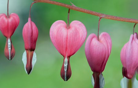 teary: Bleeding heart (Lamprocapnos spectabilis), focus in the middle, blurred green background Stock Photo