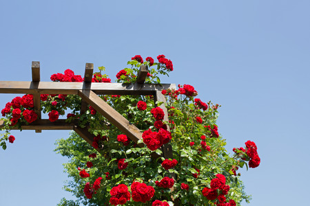 Part of a rose arbor with red flowering roses