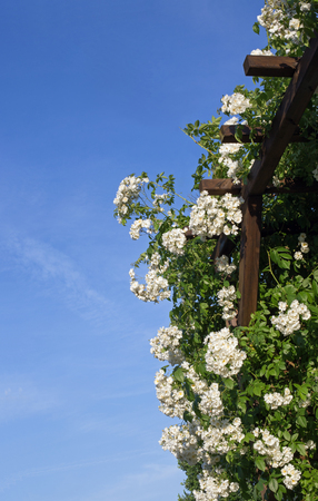 arbor: Part of a rose arbor with white flowering roses Stock Photo