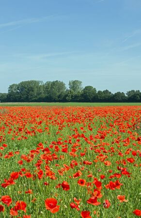 is cloudless: A blooming poppy field in spring cloudless sky Stock Photo