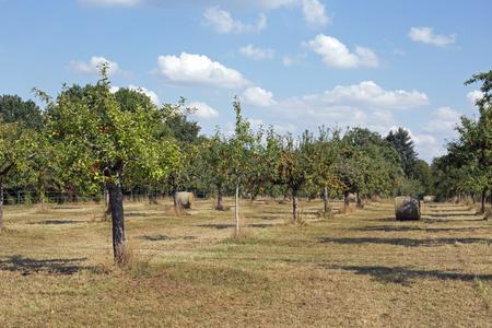 arbol de manzanas: Huerta con rollos de heno antes de la cosecha, Darmstadt Alemania Foto de archivo