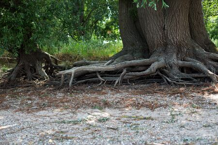 steadfast: Tree roots at the shore of the Rhine