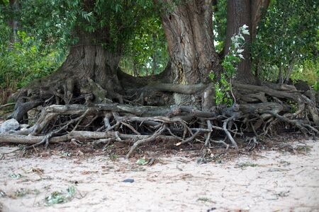 rooted: Tree roots at the shore of the Rhine