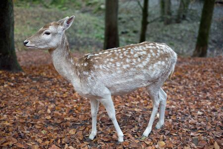 capreolus: Deer in the forest in autumn Stock Photo