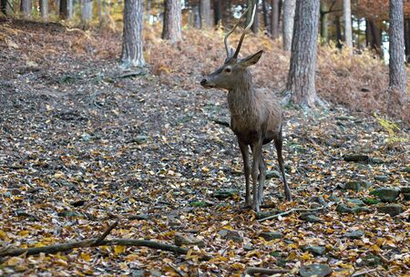 roebuck: Roebuck in the forest in autumn
