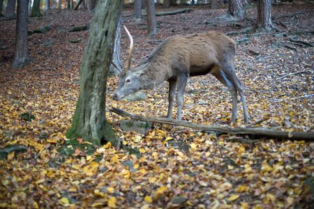 capreolus: Roebuck in the forest in autumn