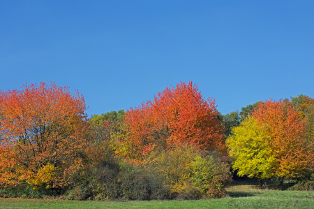 is cloudless: Some trees in autumn, blue cloudless sky