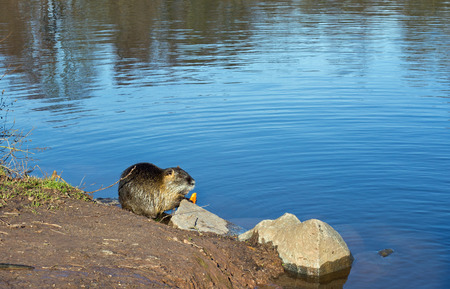 nutria: Coypu nutria, myocastor coypus with carrot in a lake