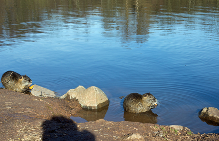 nutria: Two coypu nutria, myocastor coypus with carrot in a lake Stock Photo