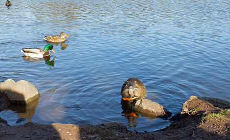 nutria: Coypu nutria, myocastor coypus with carrot and ducks in a lake