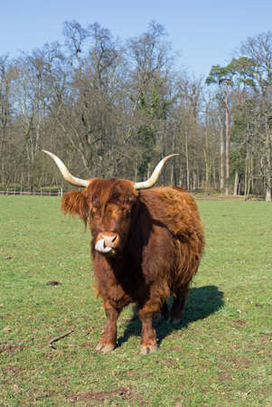 is cloudless: Highland Cattle on a meadow, blue cloudless sky