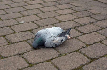 empedrado: Una paloma muerta en una carretera asfaltada