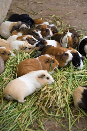 cavie: Many different guinea pigs in grass, close up