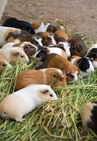 cavie: Molti cavie differenti in erba, da vicino