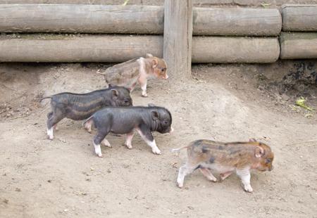 mini farm: Several pot bellied pig (piglet) Stock Photo