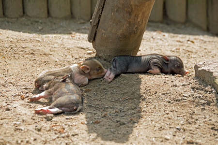several: Several pot bellied pig (piglet) Stock Photo
