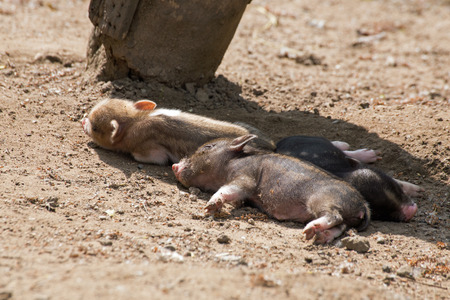 pot bellied: Several pot bellied pig (piglet) Stock Photo