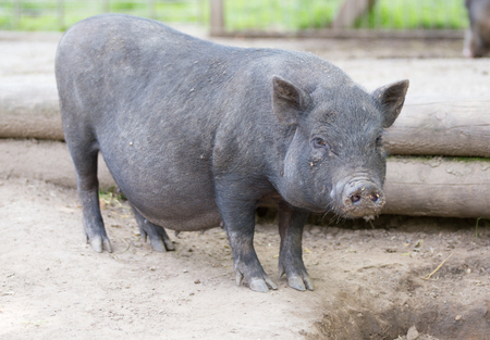 bellied: Pot bellied pig lying on ground