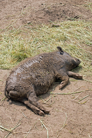 pot bellied: Pot bellied pig lying on ground