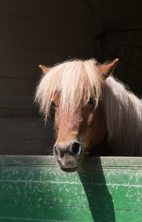 Shetlandpony (Equus przewalski caballus)