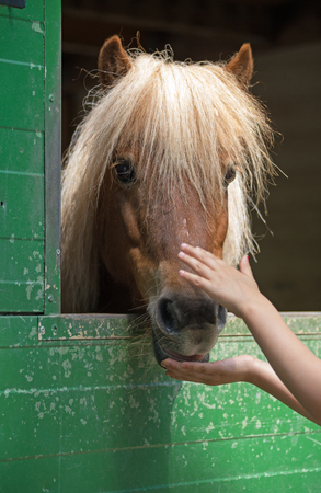 stroking: Child stroking a shetland pony (Equus przewalski caballus) Stock Photo