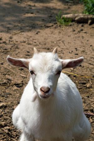 hircus: African dwarf goats (capra aegagrus f. Hircus) Stock Photo