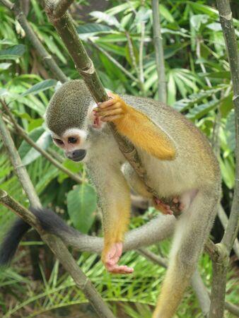 Squirrel Monkey Pose Stock Photo