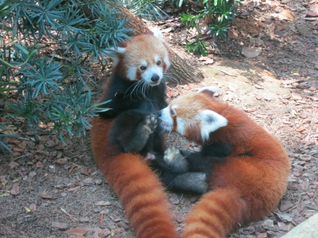 Red Pandas play together Stock Photo