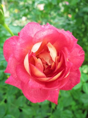 Red Rose  Briliant Rose