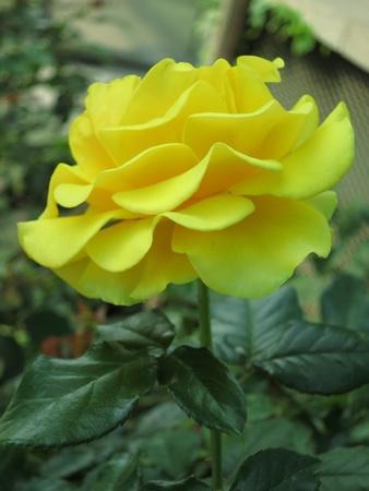 Yellow Rose Flower Stock Photo
