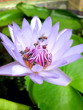 Lotus flower pollinated by bees